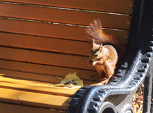 Squirrel On A Bench In Park