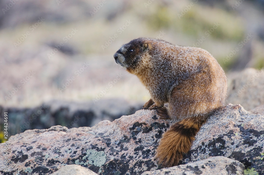 Yellow-bellied Marmot,Marmota flaviventris,adult on rock boulder,Rocky Mountain National Park, Colorado, USA, June