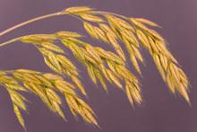 Close-up Of Grass Seedheads.