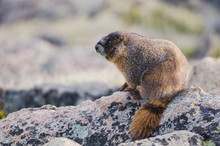 Yellow-bellied Marmot,Marmota Flaviventris,adult On Rock Boulder,Rocky Mountain National Park, Colorado, USA, June