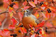 American Robin, Turdus Migratorius, Male Eating Berries Of Black Hawthorn (Crataegus Douglasii) Fallcolors Snow, Grand Teton NP,Wyoming, September