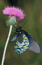 Pipevine Swallowtail, Battus Philenor, Adult On Thistle, Uvalde County, Hill Country, Texas, USA, April