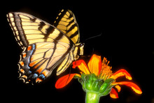Detail Of A Captive Western Tiger Swallowtail Butterfly Feeding On Flower.
