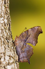 Question Mark, Polygonia Interrogationis, Adult Resting On Tree Bark, Uvalde County, Hill Country, Texas, USA, April