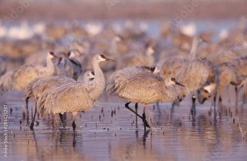 Sandhill Crane, Grus canadensis, group at roosting place, Bosque del Apache Nati Wallpaper Mural
