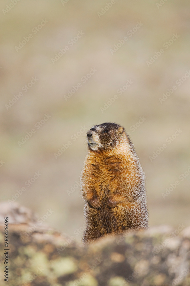 Yellow-bellied Marmot,Marmota flaviventris,adult standing on rock boulder,Rocky Mountain National Park, Colorado, USA, June