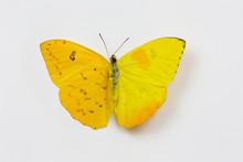 Orange-barred Sulphur Butterfl...