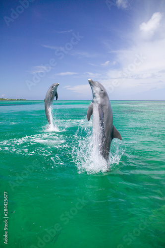 Photo Bottlenose Dolphins (Tursiops truncatus) Caribbean Sea