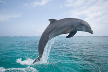 Bottlenose Dolphins (Tursiops ...