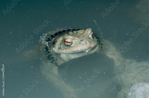 Common Toad, Bufo bufo, female with egg string, Oberaegeri, Switzerland, April Canvas Print