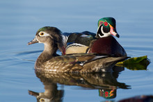 Pair Of Wood Duck
