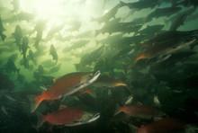 Spawning Sockeye Salmon, Pacif...
