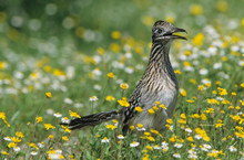 Greater Roadrunner, Geococcyx Californianus,adult In Wildflowers, Choke Canyon State Park, Texas, USA, April