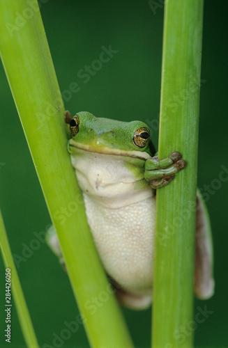 Photo Green Treefrog, Hyla cinerea, adult, Lake Corpus Christi, Texas, USA, May