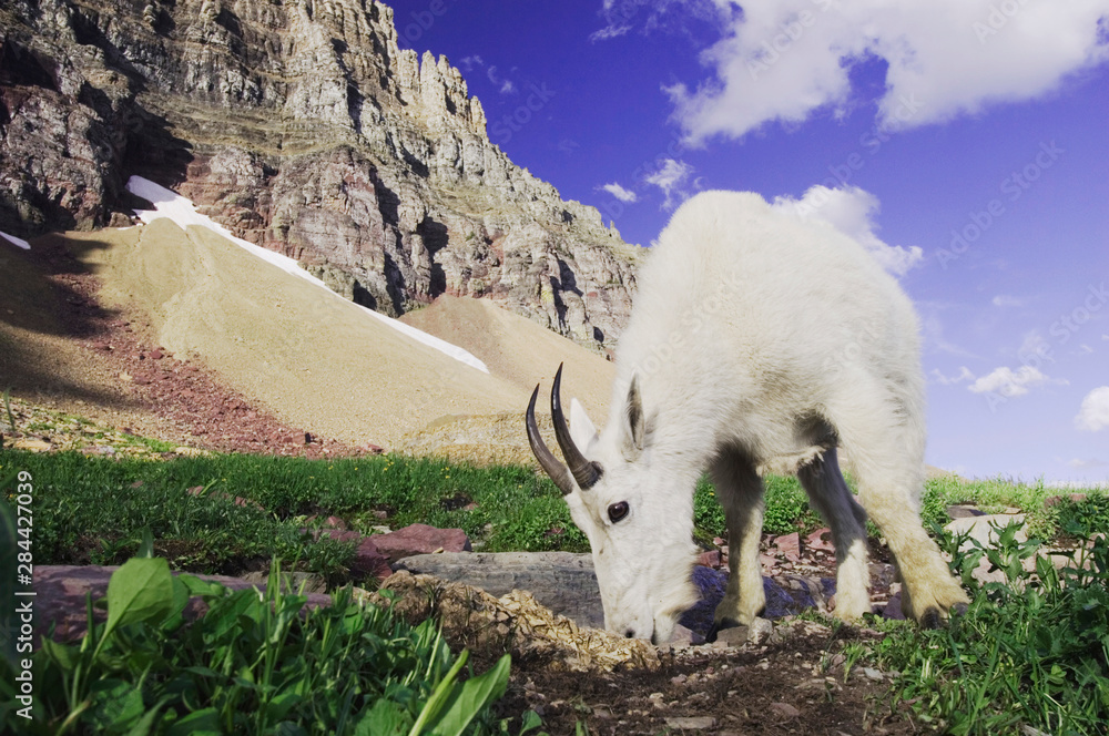 Mountain Goat,Oreamnos americanus, adult with summer coat licking minerals, Glacier National Park, Montana, USA, July