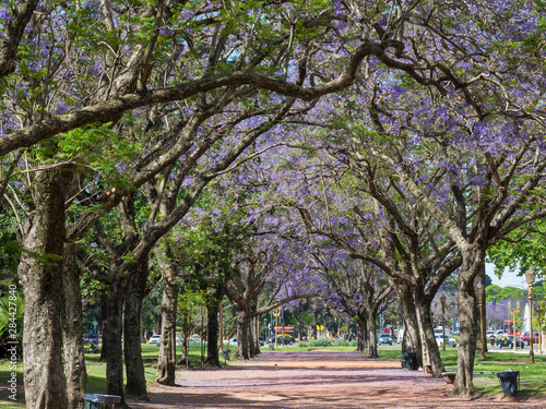 Poster Buenos Aires Alley with jacaranda trees in park Plaza Intendente Seeber. Buenos Aires, capital of Argentina.