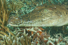 Saltwater Crocodile (Crocodylus Porosus), Rock Islands, Palau, Micronesia, Western Pacific
