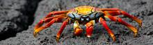 Ecuador, Galapagos Islands. The Colorful Sally Lightfoot Crab Of The Galapagos Islands.