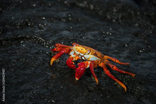 Obraz na plátně  Sally Lightfoot Crab (Grapsus grapsus) Galapagos Islands, Ecuador
