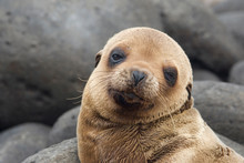 Ecuador, Galapagos Islands. Portrait Of Sea Lion Pup. Credit As: Marie Bush / Jaynes Gallery / DanitaDelimont.com