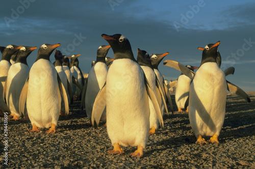 Gentoo Penguins, (Pygoscelis papua), Falkland Islands, colony of gentoo penguins in late afternoon light Fototapete