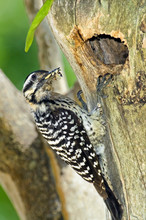 Mexico, Tamaulipas State. Female Ladder-backed Woodpecker At Cavity Nest With Food For Young.