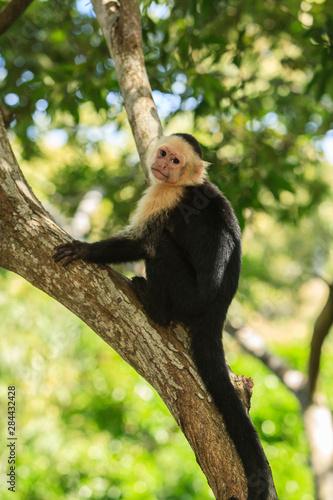 Photo White-faced Capuchin Monkey (Cebus capucinus), native to Central America