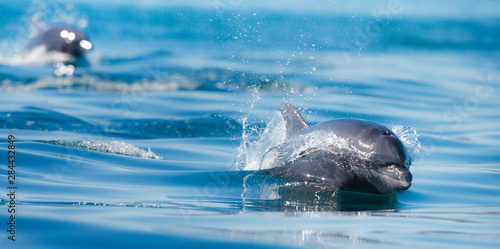 Baja Peninsula, Sea of Cortez, Gulf of California. Two Common Bottle Nose dolphins Porpoising.