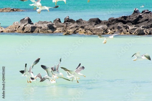 Mexico, Baja California Sur, Sea of Cortez, Western Gulls in feeding group, Isla Wallpaper Mural