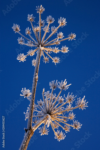Skyward view of Cow Parsnip in winter covered in morning frost, Homer, Alaska Fotobehang
