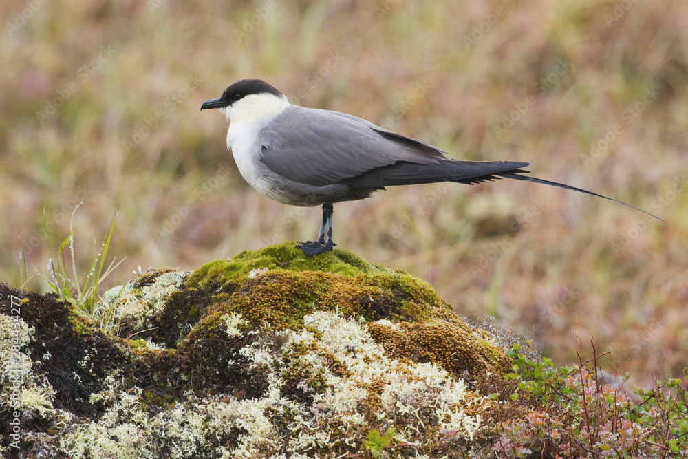 Long-tailed Jaeger, Arctic Tundra