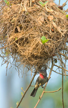Mexico, Tamaulipas State. Male Rose-throated Becard Beneath Nest.