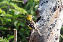 The Southern Yellow Grosbeak, Or Golden Bellied Grosbeak Is Found In South America. It Is A Member Of The Cardinal Species. This One Was Found In The Dry Forest Of Chaparri Ecological Reserve In Peru.