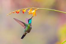 Central America, Costa Rica. Male Talamanca Hummingbird Feeding.
