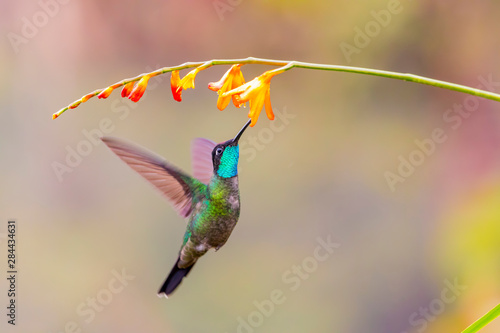 Photo Central America, Costa Rica. Male talamanca hummingbird feeding.