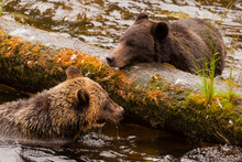 UUSA, Alaska, Tongass National Forest. Two Young Grizzlies Confront Each Other In Anan Creek. Credit As: Cathy & Gordon Illg / Jaynes Gallery / DanitaDelimont.com