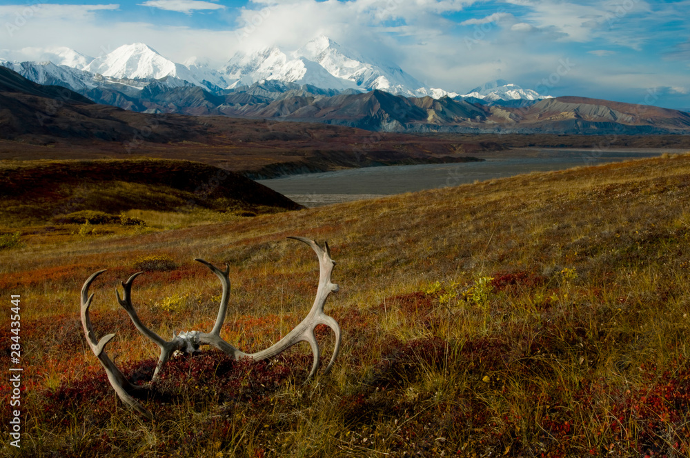 Caribou antlers on the Alaskan tundra in front of Denali (Mt. McKinley), highest mountain in all of North America.