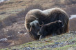 Muskox with young calf