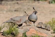 USA, Arizona, Amado. Male And Female Gambel's Quail With Chicks.