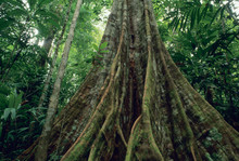 Buttressed Tree In Rainforest,...