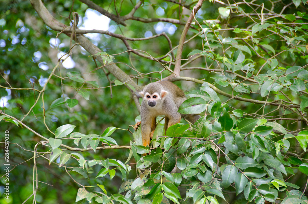 French Overseas Territory, French Guiana, Salvation Islands, Ile Royale. Wild squirrel monkey (Saimiri sciureus) in tree.