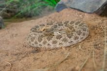 USA, Arizona, Tucson, Saguaro National Park, Sonora Desert Museum. Prairie Rattlesnake (Captive, Crotalus Viridis).