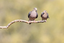 USA, Buckeye, Arizona. Pair Of Mourning Doves On A Branch.