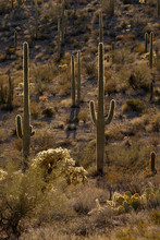 USA, Arizona, Organ Pipe Cactu...