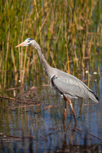 Great Blue Heron On The Prowl ...