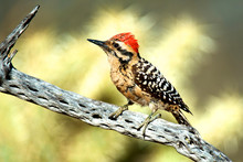 A Ladder-backed Woodpecker Per...