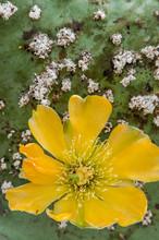 USA, California, Central Coast, Santa Barbara, Yellow Flower On Prickly Pear Cactus