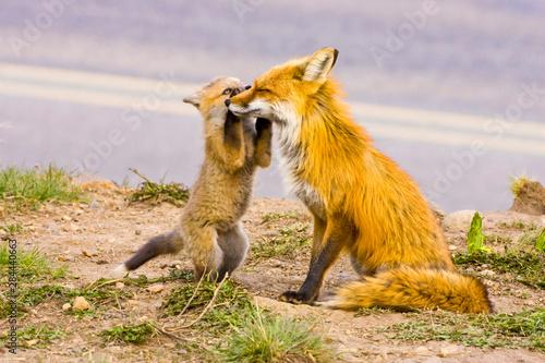 Valokuva  USA, Colorado, Breckenridge. Red fox mother with playful kit.