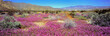 USA, California, Anza-Borrego DSP. Purple sand verbena carpets Anza-Borrego Desert State Park, California.