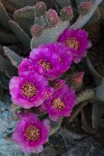 USA, California. Blooming Beavertail Prickly Pear (Opuntia Basilaris) In Desert Landscape In, Joshua Tree National Park